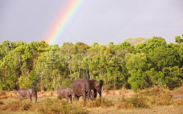 Large herd of Bush Elephants (Loxodonta africana) Stock photo © hedrus