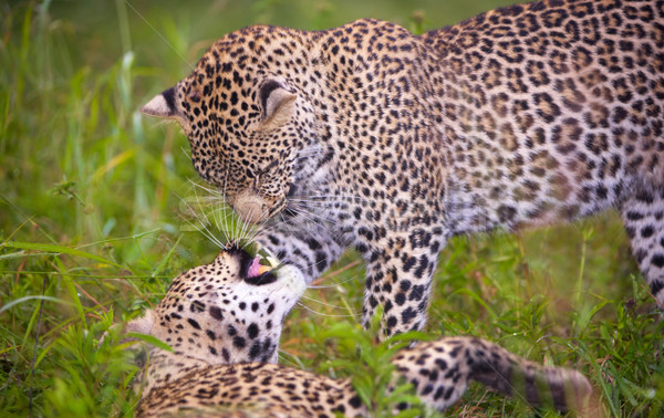 Two leopard playing in savannah Stock photo © hedrus