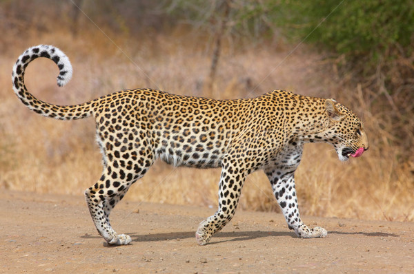Leopard walking on the road Stock photo © hedrus