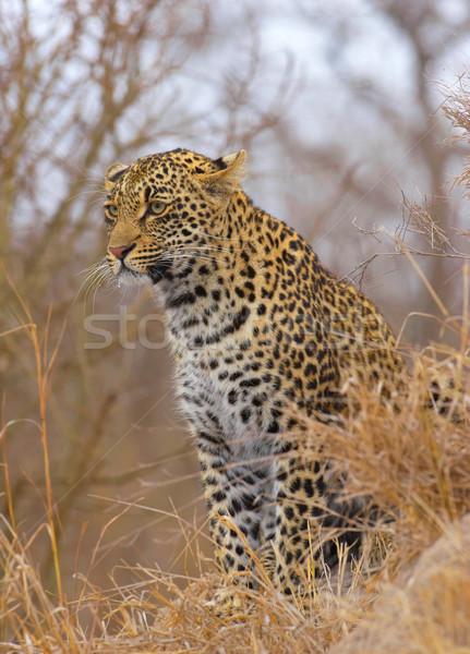 Stok fotoğraf: Leopar · oturma · doğa · rezerv · Güney · Afrika