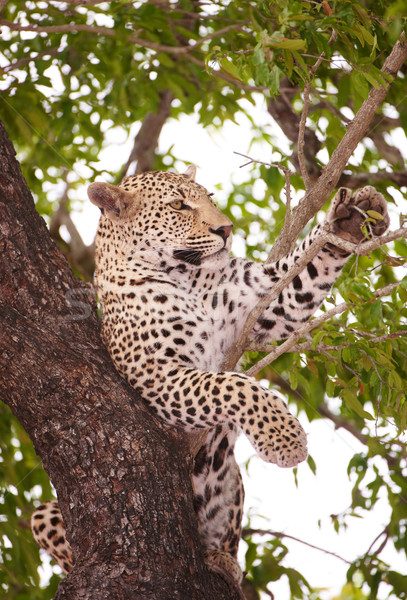 Leopard lying on the tree Stock photo © hedrus