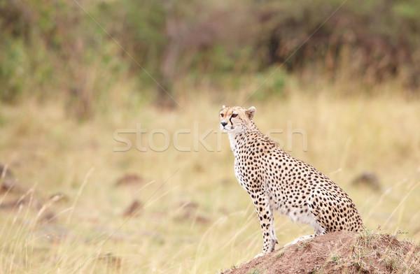 Сток-фото: гепард · сидят · саванна · смотрят · из · добыча
