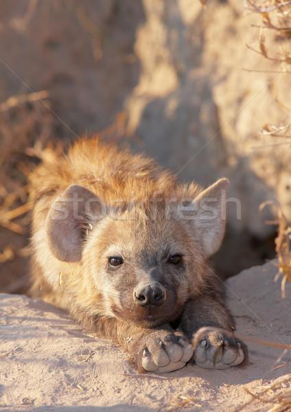 Spotted hyaena (Crocuta crocuta) Stock photo © hedrus