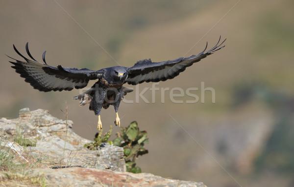Urubu aterrissagem rocha África do Sul montanha pássaro Foto stock © hedrus