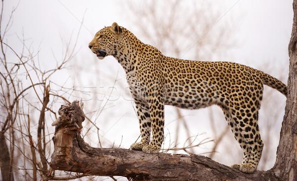 Stok fotoğraf: Leopar · ayakta · ağaç · uyarmak · doğa · rezerv