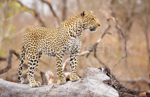 Leopard standing on the tree Stock photo © hedrus