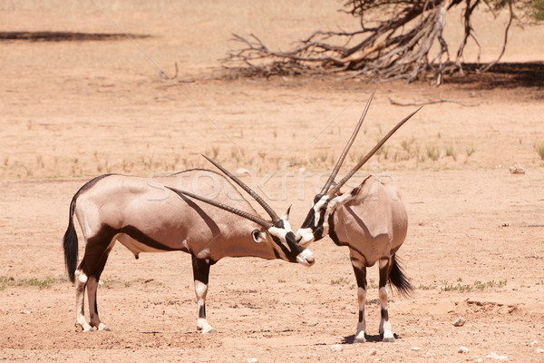 Group of Gemsbok Stock photo © hedrus