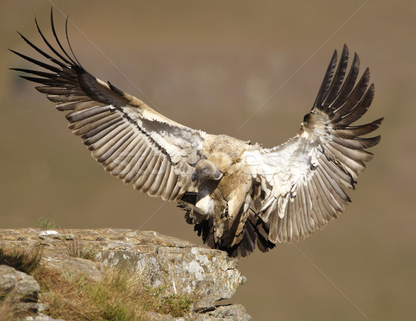 The Cape Griffon Vulture Stock photo © hedrus