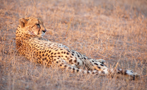 Cheetah savanne South Africa natuur mond alleen Stockfoto © hedrus