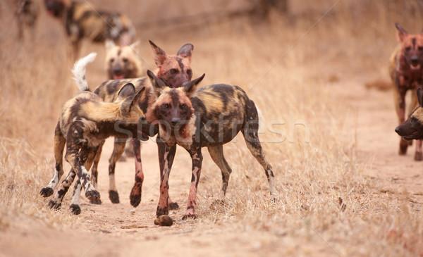 Csomag afrikai vad kutyák kutya rendkívül Stock fotó © hedrus