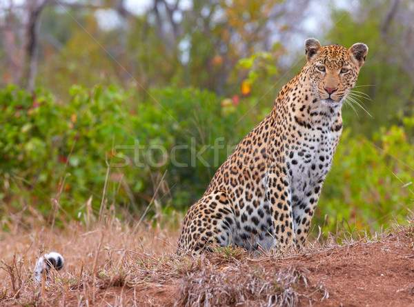 Leopard resting in savannah Stock photo © hedrus