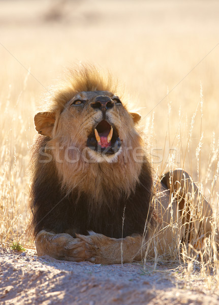 Lion (panthera leo) in savannah Stock photo © hedrus