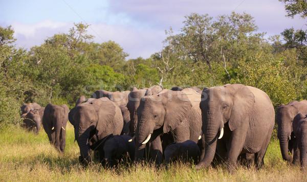 Grande rebanho elefantes caminhada savana natureza Foto stock © hedrus