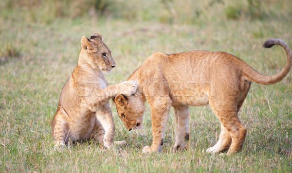 Lion cub (panthera leo) close-up Stock photo © hedrus
