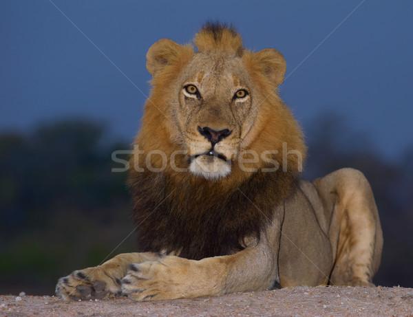 Lion (panthera leo) close-up Stock photo © hedrus