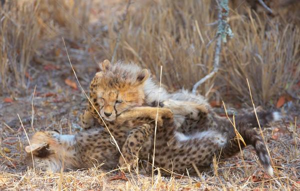 Gepárd játszik szavanna Dél-Afrika természet száj Stock fotó © hedrus