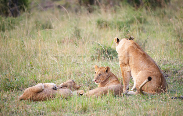 Stock photo: Lion cubs (panthera leo) with their mother
