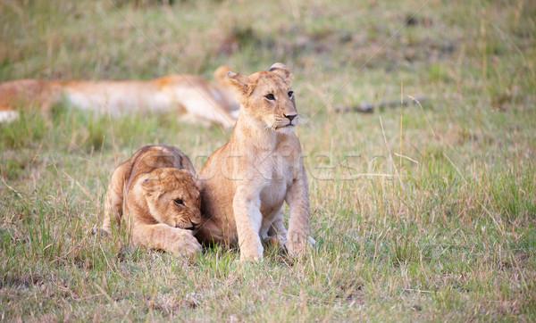 Leeuw twee vergadering savanne niet Stockfoto © hedrus