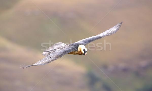 бородатый гриф Flying гор ЮАР горные Сток-фото © hedrus