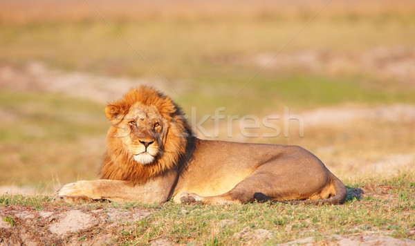 Aslan savan Botsvana doğa hayvan Stok fotoğraf © hedrus