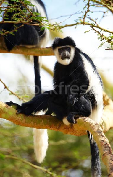 Monkeys oturma ağaç Güney Afrika doğa siyah Stok fotoğraf © hedrus