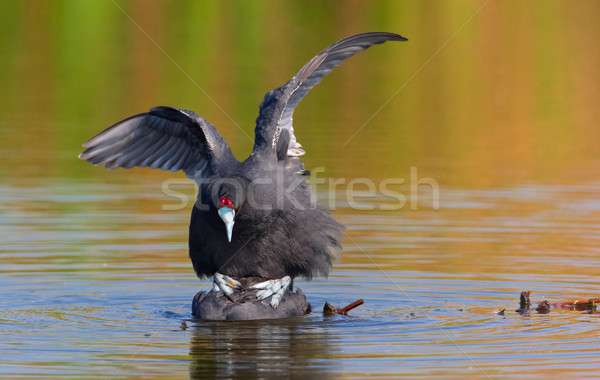 Red-knobbed Coot or Crested Coot Stock photo © hedrus
