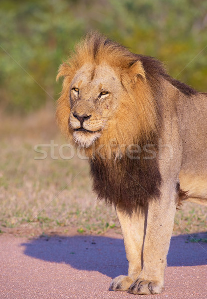 Lion (panthera leo) close-up Stock photo © hedrus