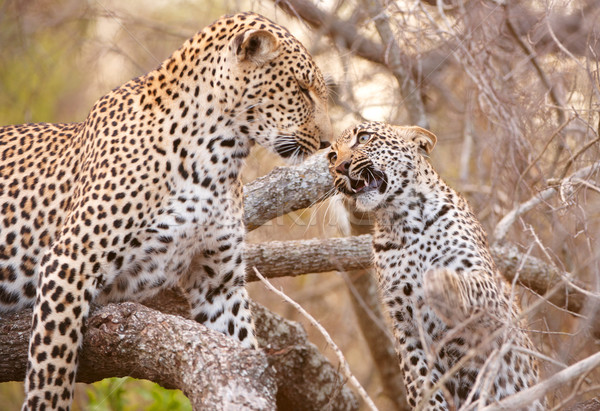 Two Leopards playing on the tree Stock photo © hedrus