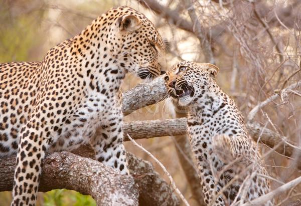 два играет дерево ребенка Leopard Сток-фото © hedrus