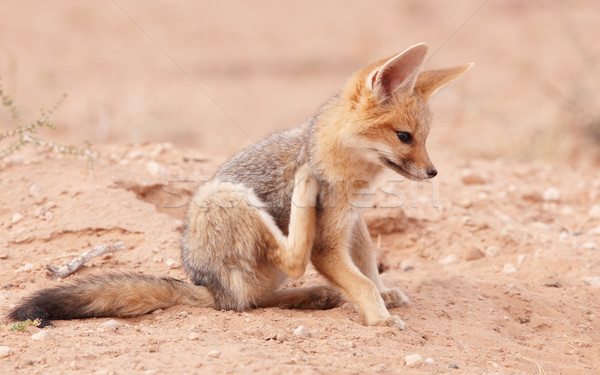 Benachrichtigung Baby Südafrika Gras Afrika Tier Stock foto © hedrus
