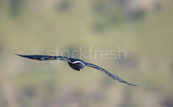 Corbeau vol Afrique du Sud oiseau noir seuls Photo stock © hedrus