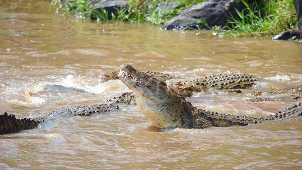 Crocodiles (Crocodylus niloticus) Stock photo © hedrus