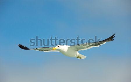 Cape (Kelp) Gull in flight Stock photo © hedrus