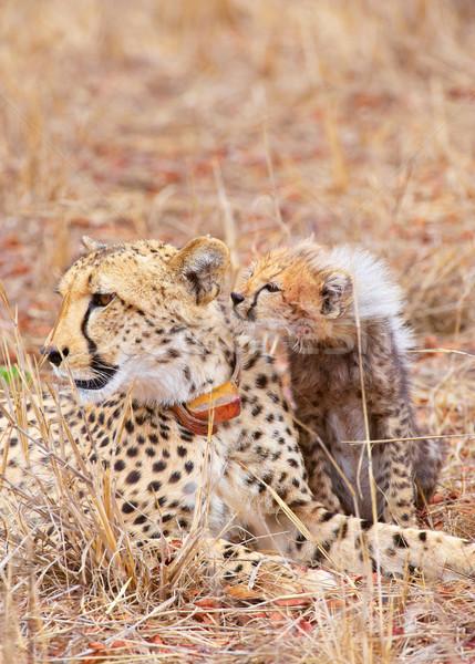 гепард матери саванна ЮАР природы Сток-фото © hedrus