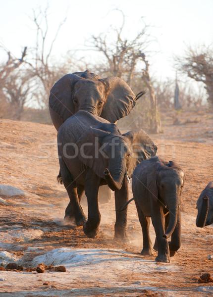 Nagy afrikai elefánt bika nyáj afrikai elefántok Stock fotó © hedrus