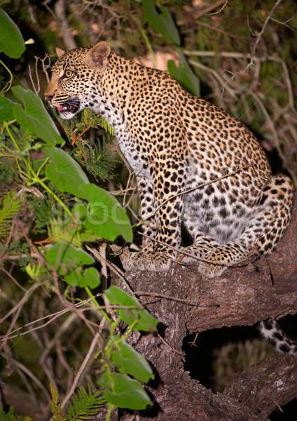 Leopárd ül fa éber természet tartalék Stock fotó © hedrus