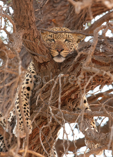 Leopard (Panthera pardus) lying on the tree Stock photo © hedrus