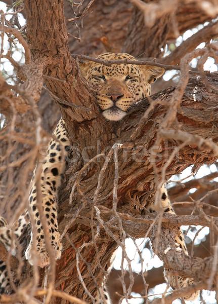 Leopard дерево большой еды природы резерв Сток-фото © hedrus