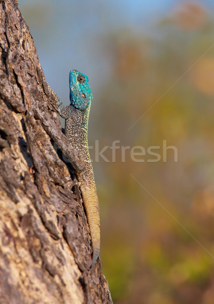 Southern Rock Agama (Agama atra) Stock photo © hedrus