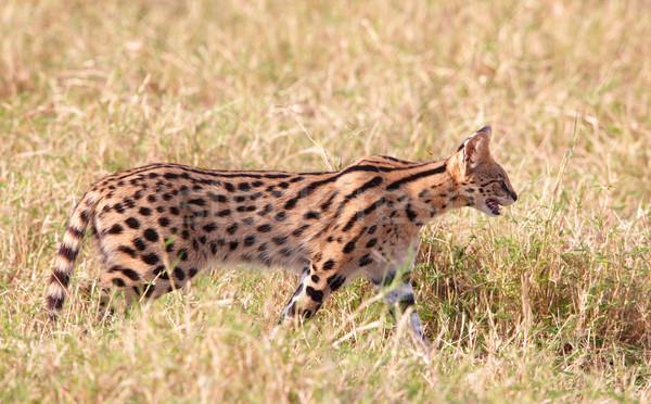 Afrikai vad macska sétál szavanna Dél-Afrika Stock fotó © hedrus