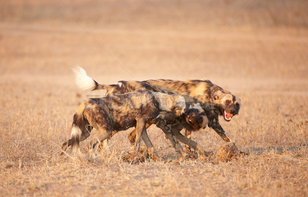 African Wild Dog (Lycaon pictus) Stock photo © hedrus