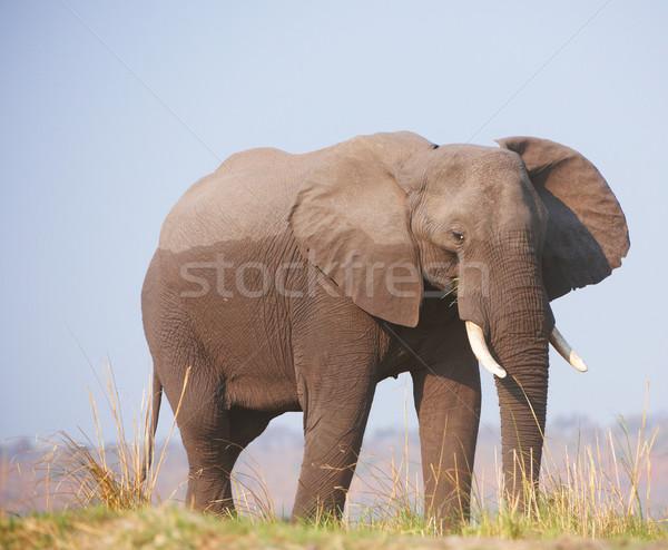 Large African elephant  Stock photo © hedrus