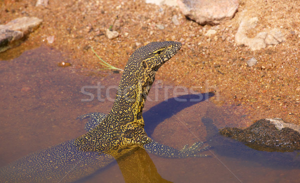 Water dragon in South Africa Stock photo © hedrus