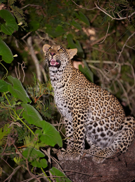 Leopard sitting on the tree Stock photo © hedrus