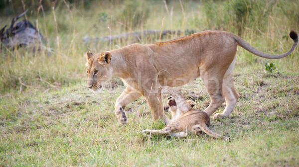 Lion cub (panthera leo) with his mother Stock photo © hedrus