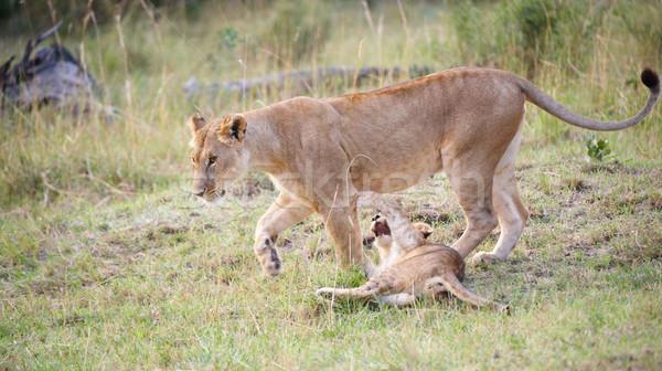 Leeuw welp moeder spelen savanne South Africa Stockfoto © hedrus