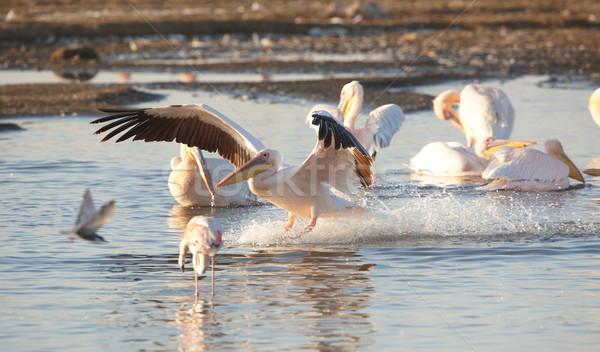 Eastern White Pelican (Pelecanus onocrotalus) Stock photo © hedrus