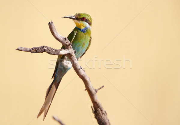 Swallow-tailed Bee-eater Stock photo © hedrus