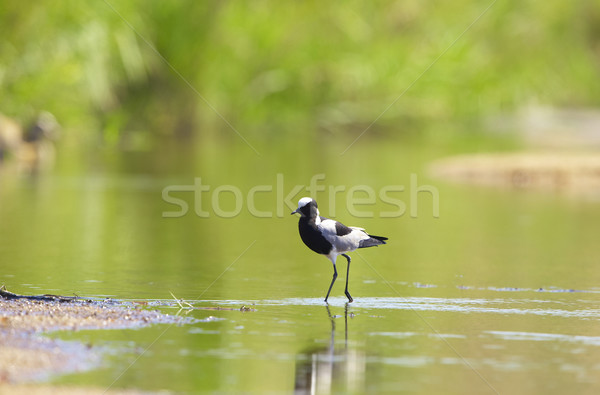 Blacksmith Lapwing or Plover Stock photo © hedrus