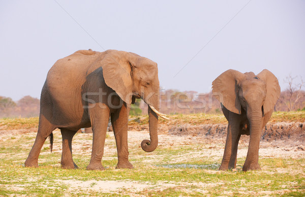 Nagy afrikai elefántok eszik szavanna Botswana Stock fotó © hedrus